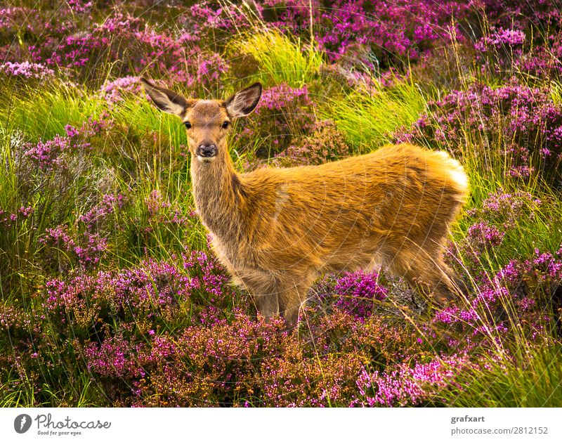 Junger Hirsch in malerischer Landschaft in Schottland Baby Blume Einsamkeit Großbritannien Heidekrautgewächse Highlands Hirsche Hirschkalb Jagd Tierjunges Natur