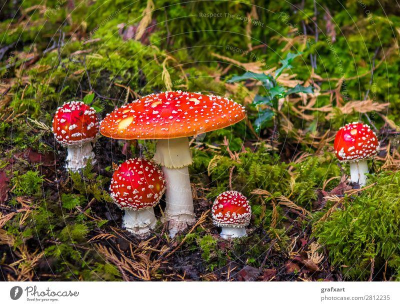 Gruppe mit Fliegenpilzen auf moosigem Waldboden Essen gefährlich Risiko gepunktet Gift Glück Glücksbringer Rauschmittel Hut kappe Märchen Moos Natur