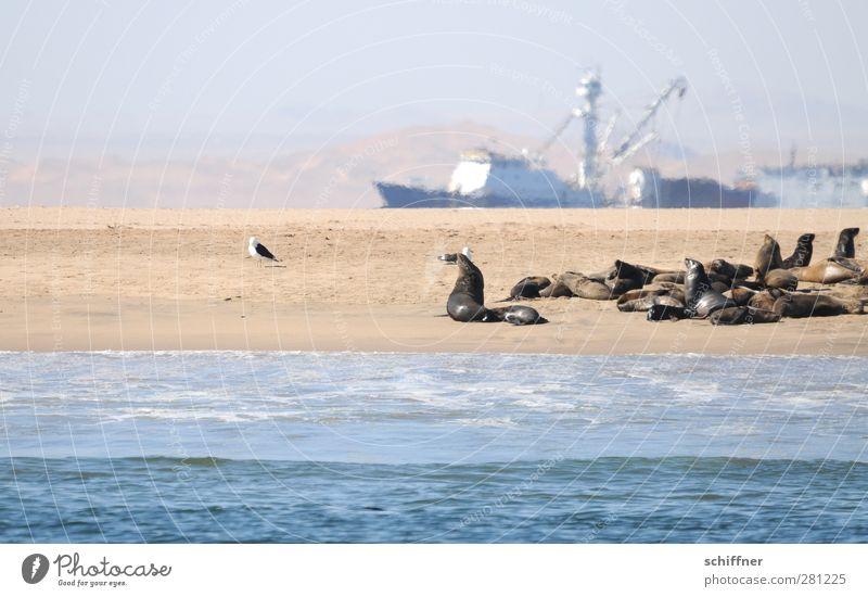 Schiff war schlauer Landschaft Küste Strand Meer Wüste Schifffahrt Fischerboot Trawler Tier Wildtier Tiergruppe Herde Rudel außergewöhnlich Robben Robbenkolonie