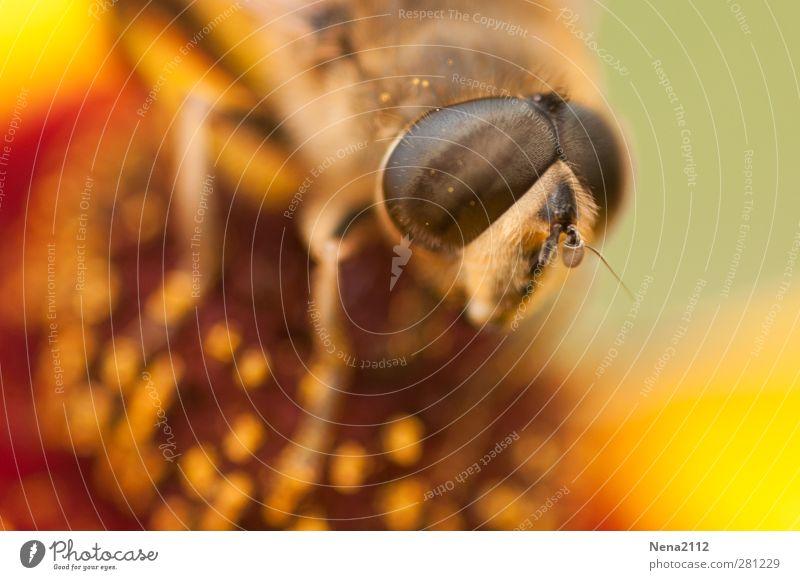 Auge in Auge Natur Sommer Pflanze Blume Tier Umwelt gelb Wiese Blüte braun orange gold Fliege Schönes Wetter Biene