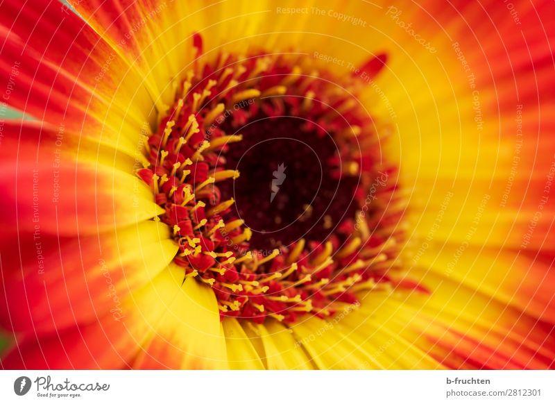 Blüte Nahaufnahme, Gerbera Sonnenlicht Sommer Pflanze Garten Freundlichkeit Fröhlichkeit frisch positiv schön gelb rot Glück Lebensfreude Freude Glaube