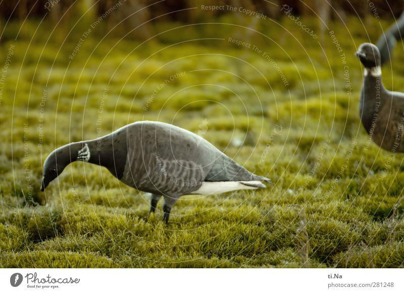 Rott rott rott - der Ruf der Ringelgans Landschaft Tier Wiese Wildtier Wildgans Gans Fressen wandern authentisch Freundlichkeit schön grau grün schwarz silber