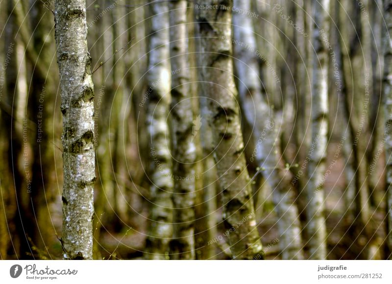 Birken Natur schön Pflanze Baum Landschaft Wald Umwelt Stimmung natürlich Wachstum ästhetisch Birke Birkenwald Birkenrinde