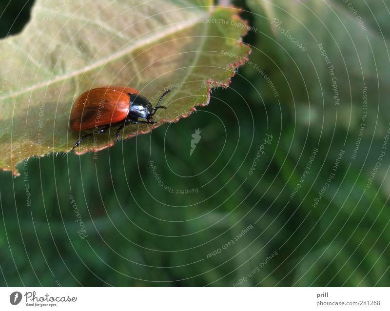Leaf beetle at summer time Natur rot Tier Blatt Umwelt Wildtier Sträucher Insekt Textfreiraum Umweltschutz Käfer Fehler Gliederfüßer Zwei Tiere