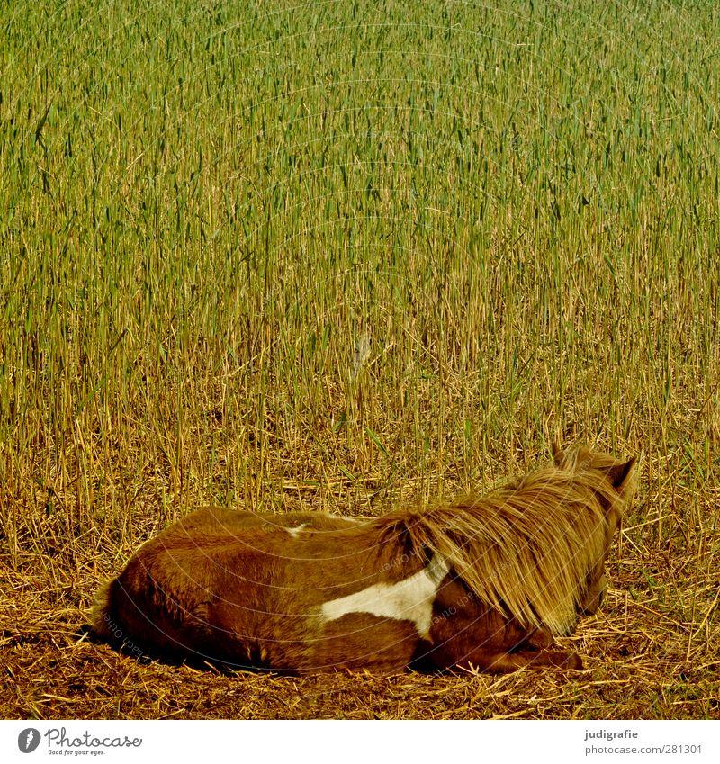 Pferd Natur Pflanze Gras Tier Haustier Nutztier 1 liegen ästhetisch natürlich braun grün Stimmung Warmherzigkeit ruhig Farbfoto Außenaufnahme Tag