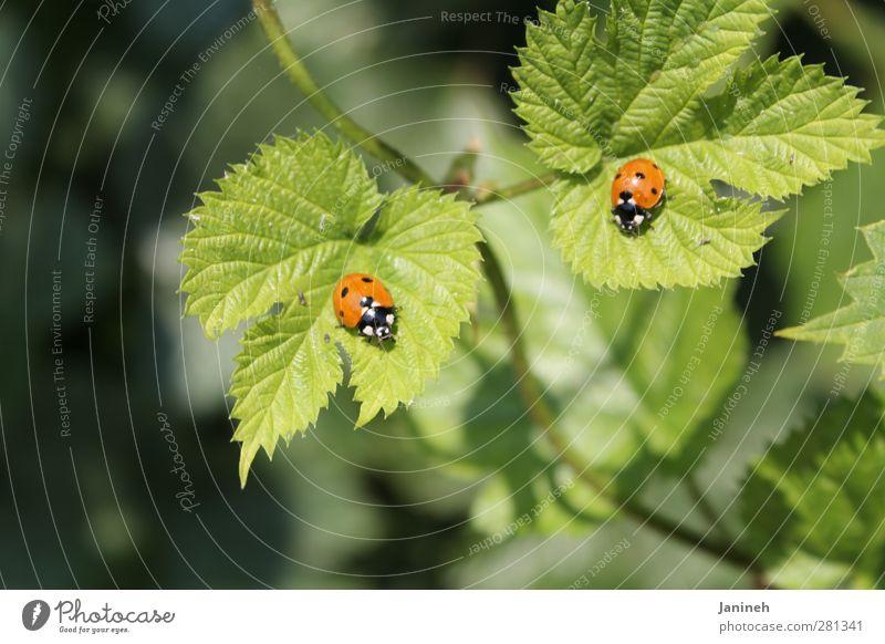 Zwillinge Tier Frühling Pflanze Blatt Käfer 2 Tierpaar Frühlingsgefühle Farbfoto Außenaufnahme Tag Schwache Tiefenschärfe