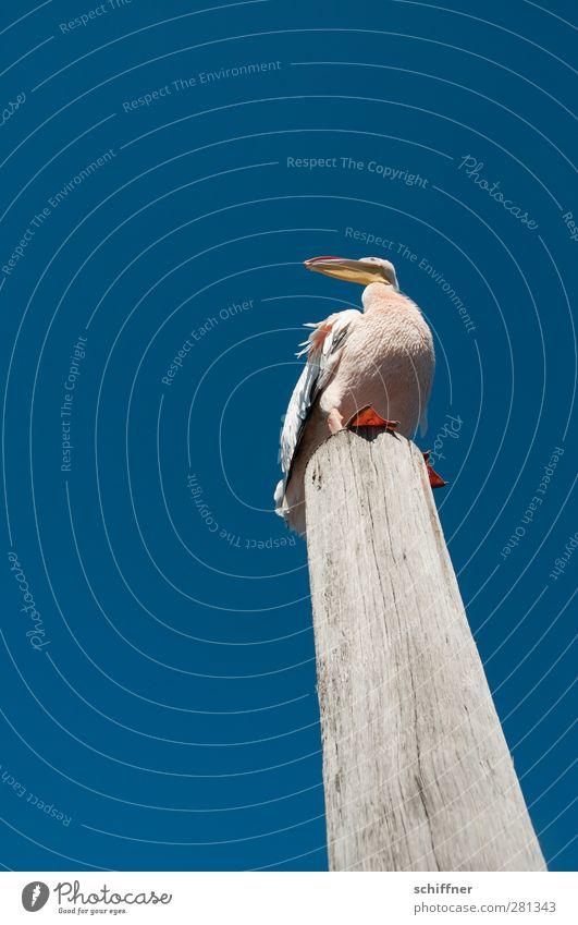 Schräger Vogel Wolkenloser Himmel Tier Wildtier 1 stehen Neigung Pelikan Holzpfahl oben Blick Schnabel Vogelperspektive Froschperspektive Walvisbay Namibia