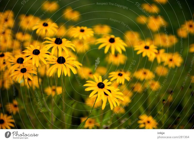 schwarzgelbgrün Pflanze Sommer Blume Blüte Stauden Garten Blühend Wachstum dünn lang schön viele Idylle Natur Farbfoto Außenaufnahme Nahaufnahme Detailaufnahme