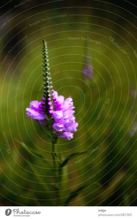 grünlila Pflanze Sommer Blume Blatt Blüte Blühend verblüht Wachstum Duft dünn lang natürlich schön violett schwarz Natur Vergänglichkeit Wandel & Veränderung