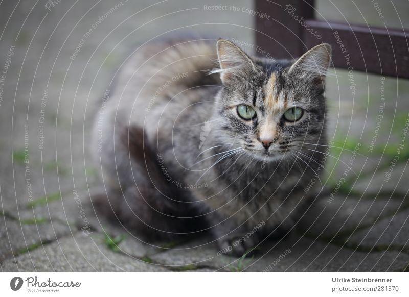 Erstes Tier Haustier Katze Tiergesicht 1 Tierjunges beobachten Denken hocken Blick sitzen klein nah natürlich Neugier niedlich weich grau Tierliebe achtsam