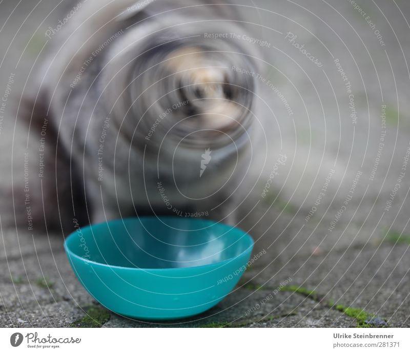Zweites Tier Haustier Katze 1 Tierjunges Bewegung Fressen füttern hocken frech Fröhlichkeit lustig nah natürlich niedlich Geschwindigkeit grau Gefühle Freude
