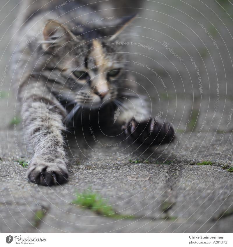 Drittes Katze Tier Erholung Bewegung Glück grau Tierjunges Gesundheit natürlich Warmherzigkeit weich Fitness genießen lang Haustier Pfote