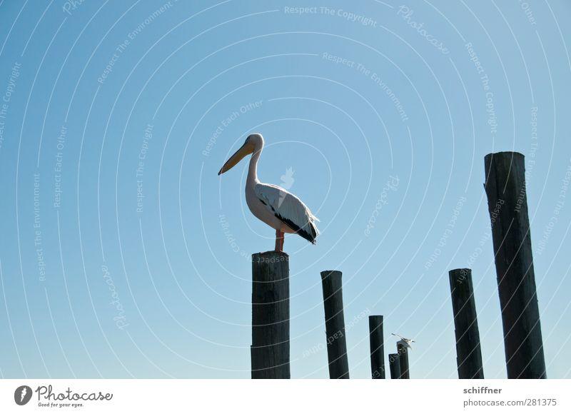 Platzhalter Himmel Wolkenloser Himmel Tier Wildtier Vogel 1 stehen Pelikan Baumstamm Holzpfahl Überblick überblicken Walvisbay Namibia einzeln Außenaufnahme