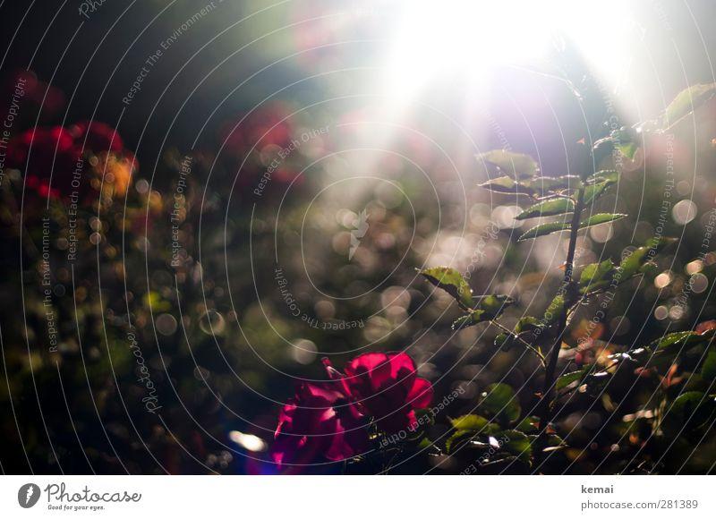 Ich weiß es gibt ein Leben vor dem Tod Umwelt Natur Pflanze Sonne Sonnenlicht Sommer Schönes Wetter Blume Rose Blatt Blüte Grünpflanze Garten Park Duft dunkel