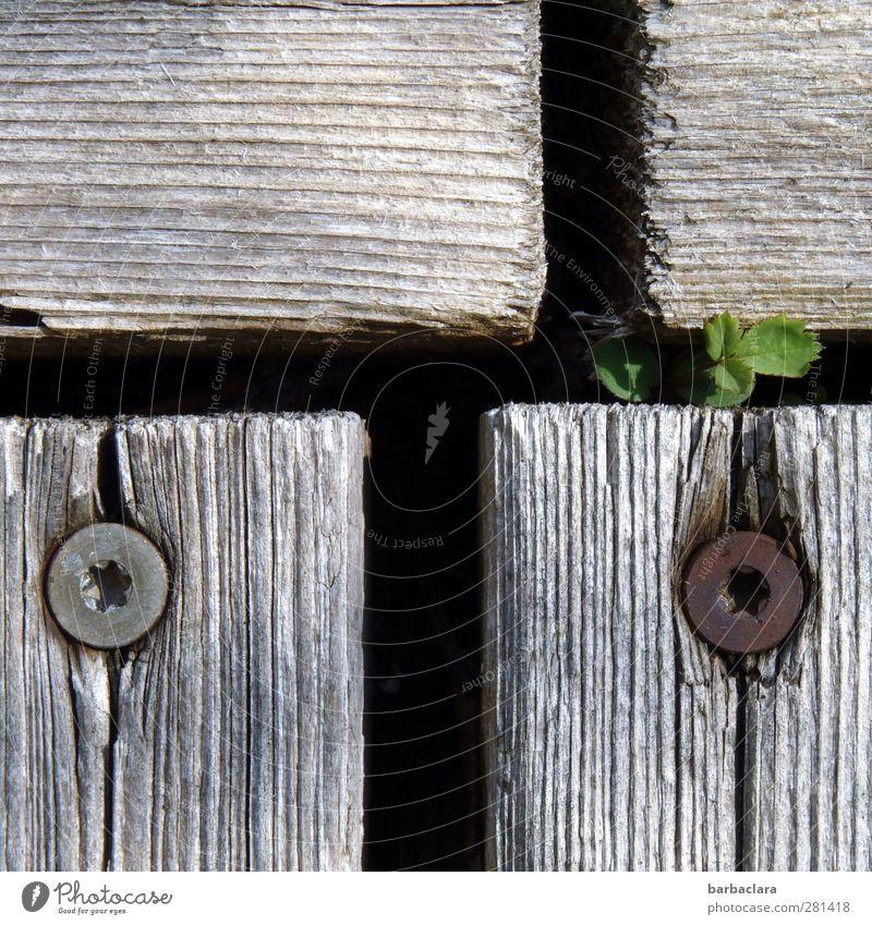 Durchtriebenes Pflänzchen Umwelt Sonnenlicht Sommer Pflanze Garten Terrasse Holzfußboden Schraube Schneidebrett Wachstum klein wild grau grün Kraft Beginn