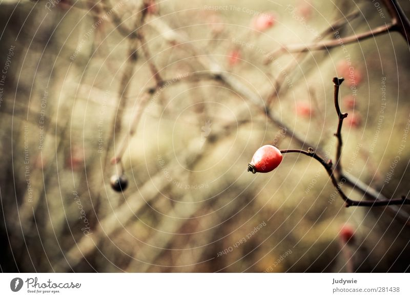 Hagebutte Natur Pflanze rot Winter gelb Umwelt dunkel Herbst Park braun natürlich Frucht Wachstum Wandel & Veränderung Vergänglichkeit Rose