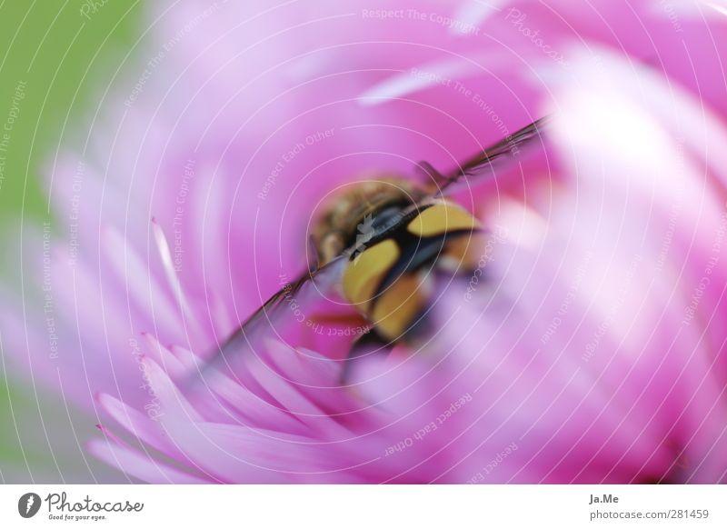 Von der Natur gemalt... Pflanze Blume Blüte Garten Tier Wildtier Flügel Insekt Schwebfliege Zweiflügler 1 Blühend ästhetisch natürlich Farbfoto mehrfarbig