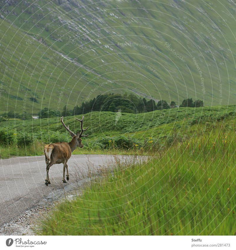 Krumme Dinger | Kein Bock auf Fotoshooting Schottland Hirsch Rothirsch Sommer in Schottland nordisch nordische Romantik grüne Hügel schottisch