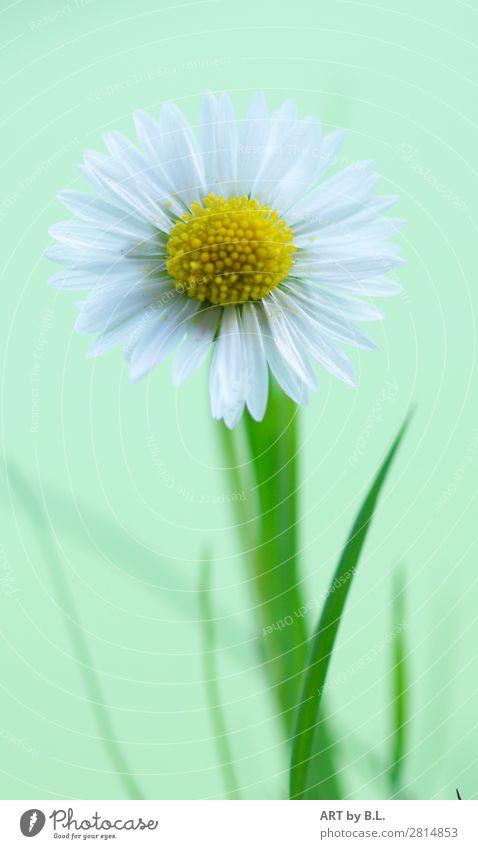 Gänseblümchen Portrait Umwelt Natur Pflanze Frühling Sommer Herbst Blume Blüte elegant frei Freundlichkeit frisch Gesundheit Glück klein natürlich positiv weich