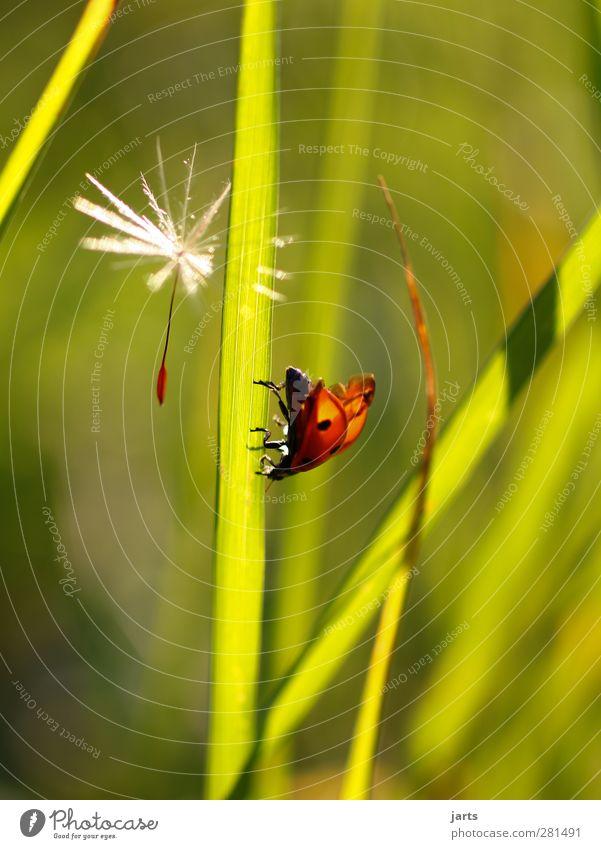aufbruch Umwelt Natur Pflanze Tier Sommer Gras Blüte Wiese Wildtier Käfer 1 fliegen laufen Idylle ruhig Löwenzahn Marienkäfer Farbfoto mehrfarbig Außenaufnahme