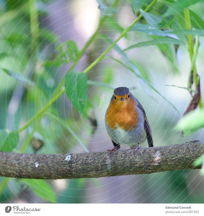 2 Augen in Auge mit neugierigem Rotkehlchen Natur Baum Kastanie Vogel 1 Tier Fressen Mitgefühl Leben Neugier Konzentration Sonnenstrahlen Mitleid Tierporträt