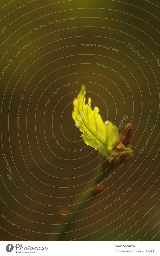 Krumme Dinger | ins Licht gerückt Umwelt Natur Pflanze Sommer Blatt Grünpflanze Wildpflanze dünn authentisch einfach elegant frisch klein natürlich Spitze