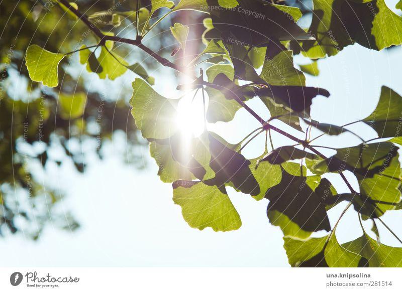 fürs gehirn Natur Pflanze Baum Blatt Grünpflanze Ginkgo leuchten natürlich grün Gesundheit Alternativmedizin Gehirn u. Nerven Farbfoto Außenaufnahme