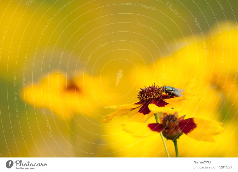 In a yellow world... Natur Pflanze Blume Wiese Tier Fliege 1 gelb Sommer sommerlich Sommertag Sommerblumen Sommerblumenbeet Blumenwiese Farbfoto Außenaufnahme