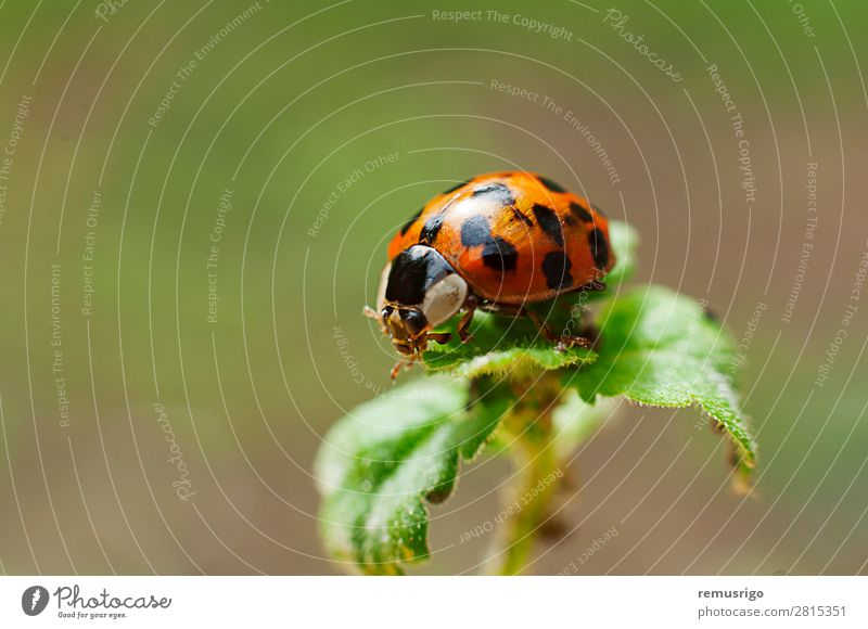 Marienkäfer Pflanze Tier Blatt Käfer rot Wanze Insekt gepunktet Farbfoto Außenaufnahme Nahaufnahme Menschenleer