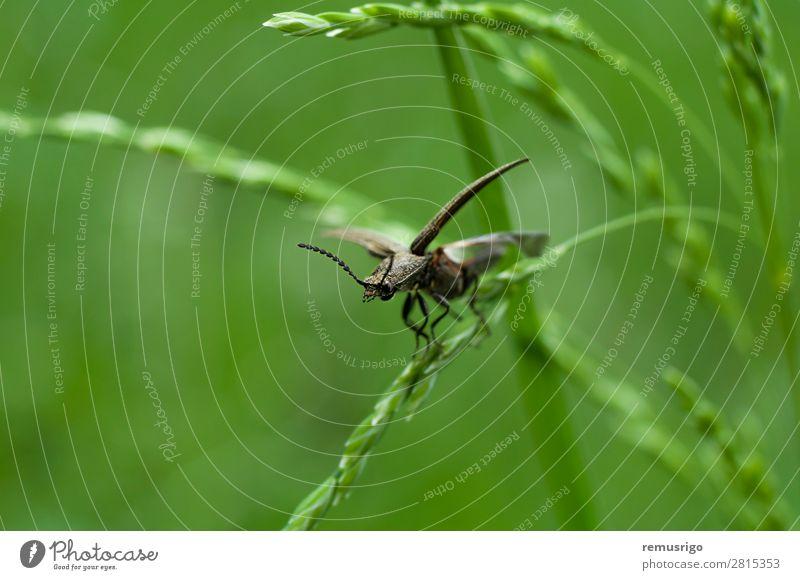 Käfer auf Rasen Gras Antenne Flügel grün schwarz Wanze Fliege Insekt Frühling Farbfoto Außenaufnahme Nahaufnahme Menschenleer Morgen