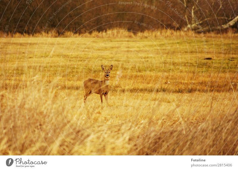 Entdeckt Umwelt Natur Landschaft Pflanze Tier Urelemente Gras Park Wiese Wildtier Fell 1 frei nah natürlich dünn schön braun grün Reh wild Wachsamkeit Farbfoto