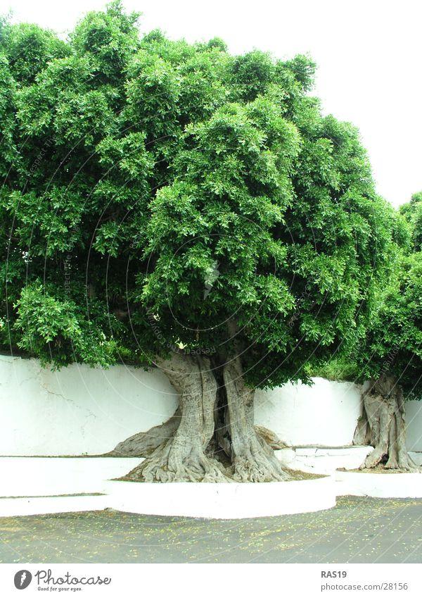 Die grüne Lunge Baum Baumkrone Baumstamm Baumhöhle Blatt weiß