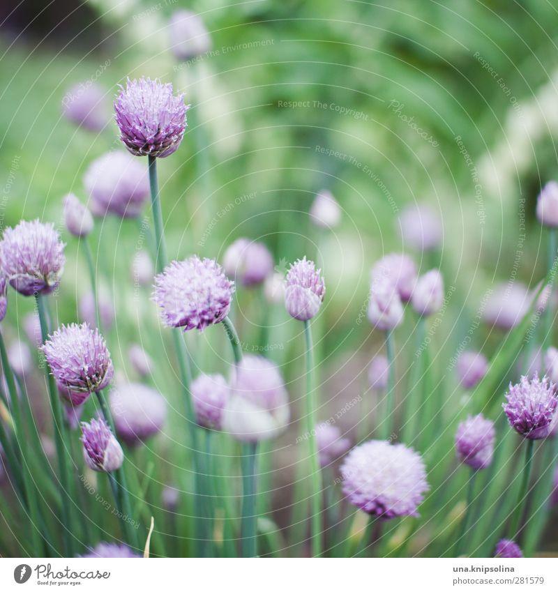 iiiiii Natur Pflanze Blüte Nutzpflanze Garten Blühend natürlich weich grün violett Schnittlauch Zwiebel Beet Kräuter & Gewürze zart Farbfoto Außenaufnahme