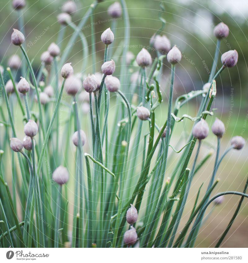 iiiiiiiiiiii Natur Pflanze Nutzpflanze Schnittlauch Garten Blühend natürlich grün violett Beet zart Zwiebel Farbfoto Gedeckte Farben Außenaufnahme Nahaufnahme