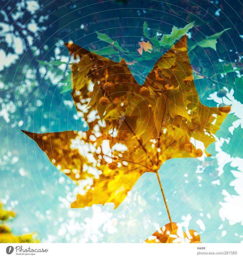 Zeitloses Umwelt Natur Pflanze Herbst Wetter Blatt ästhetisch außergewöhnlich blau gelb nachhaltig Vergänglichkeit Herbstlaub herbstlich Jahreszeiten Färbung
