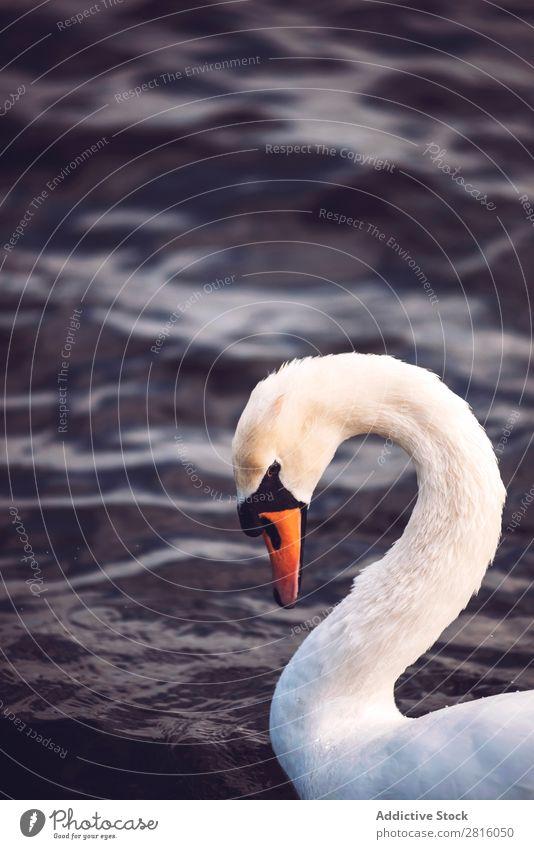 Schwan auf einem See Vogel weiß Wasser Natur Tierwelt schön Reinheit Park friedlich England Ferien & Urlaub & Reisen Tourismus Außenaufnahme Großbritannien