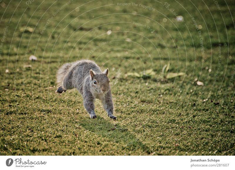 Grauhörnchen I Natur grün Freude Tier Umwelt Wiese Leben Gras Bewegung Freiheit grau springen braun Wildtier frisch verrückt