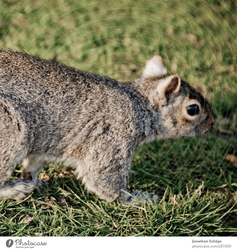 Grauhörnchen II Umwelt Natur Tier Wildtier 1 Fröhlichkeit frisch rebellisch braun grau grün Leben Freiheit Freude Eichhörnchen Wiese Gras niedlich Nagetiere