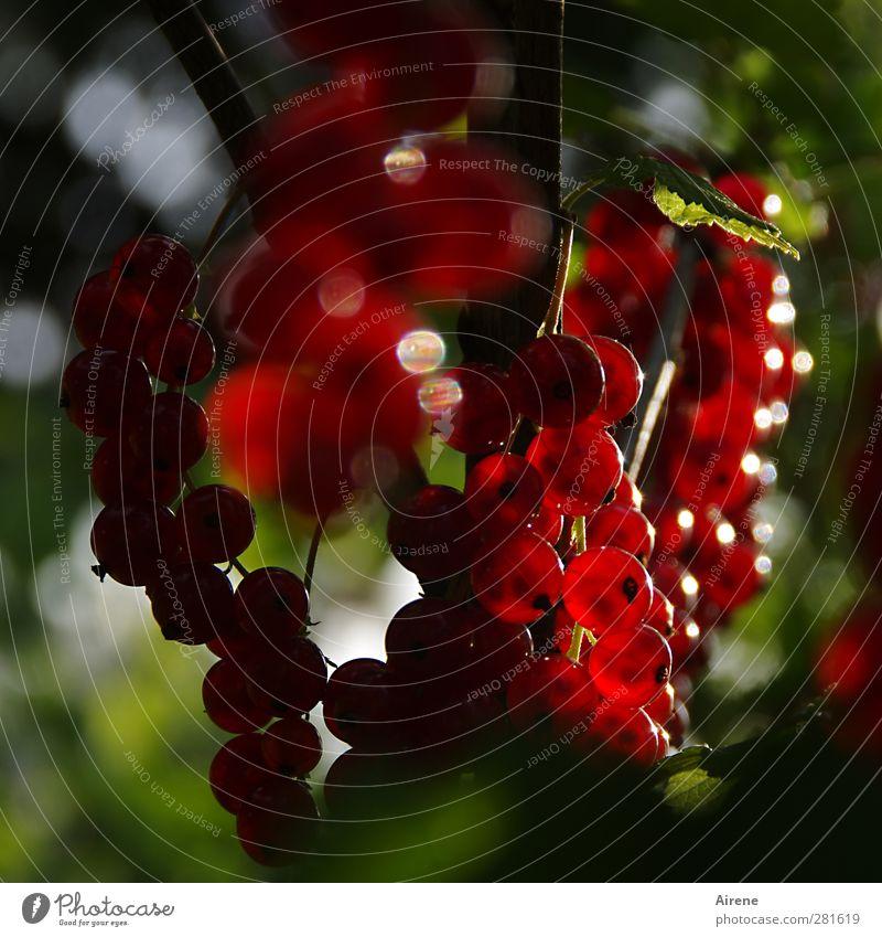 Gartenschmuck Lebensmittel Frucht Johannisbeeren Beeren Ernährung Vegetarische Ernährung Natur Pflanze Sträucher Nutzpflanze Obstgarten glänzend hängen leuchten