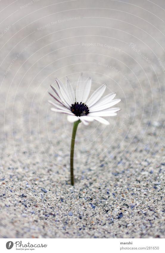 Abschied nehmen Natur weiß Pflanze Blume grau Sand Blühend Margerite