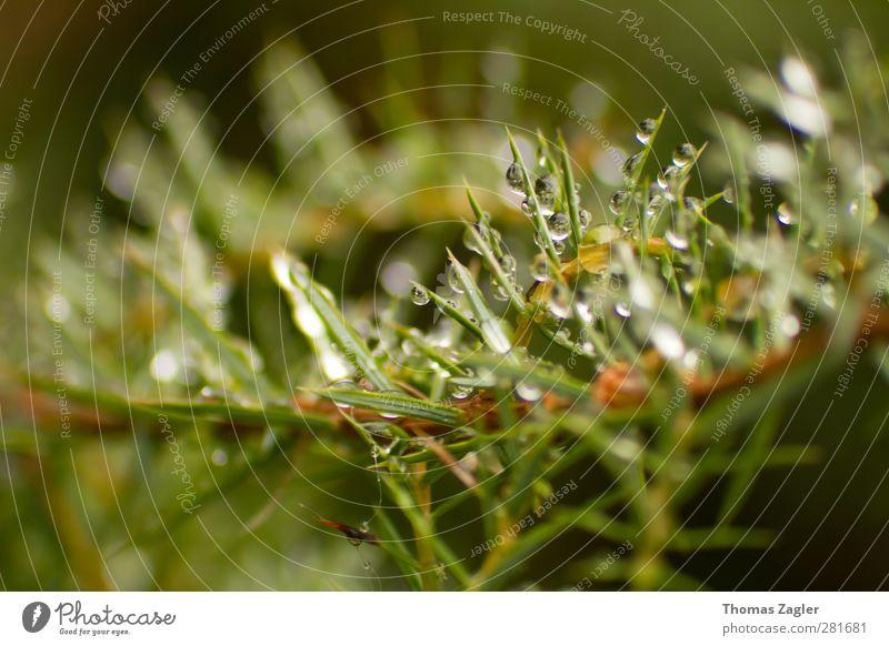 Wacholder Kräuter & Gewürze Umwelt Natur Landschaft Pflanze Urelemente Wasser Wassertropfen Wetter schlechtes Wetter Sträucher Blatt Wald Holz Tropfen Duft nass