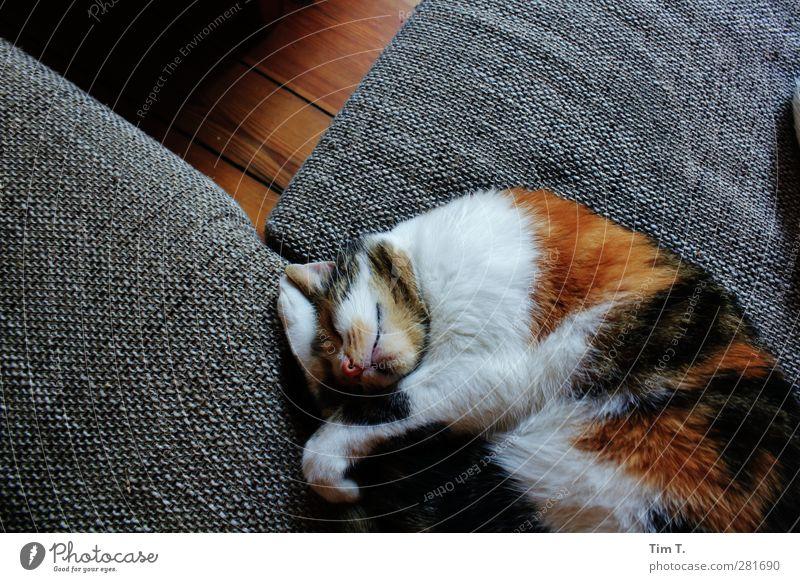 ab jetzt ist Ruhe Wohnung Möbel Sofa Tier Haustier Katze 1 stagnierend Glückskatze Farbfoto Innenaufnahme Menschenleer Tag Schatten