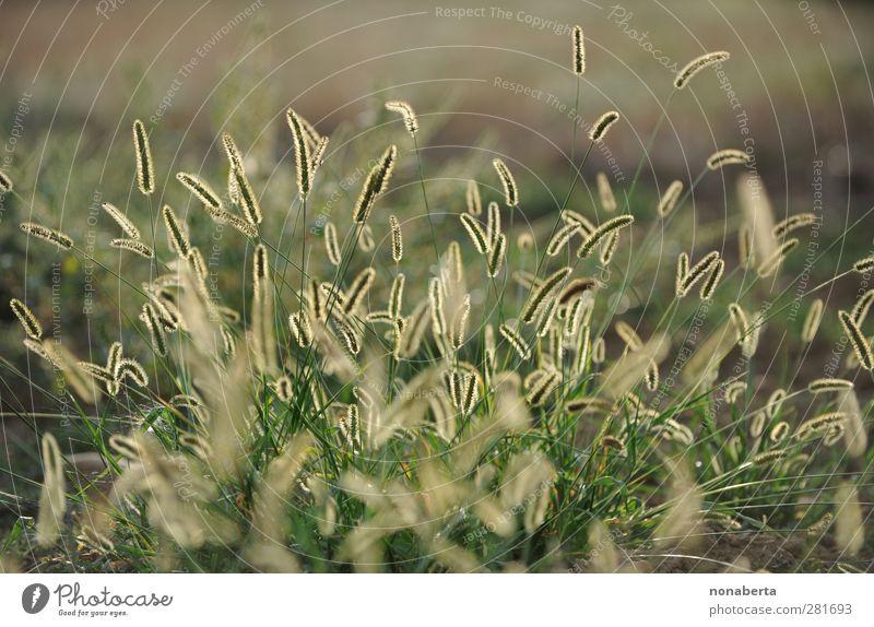 Pfeifenputzer Natur grün Sommer Pflanze ruhig gelb Umwelt Wiese Wärme Gras Stimmung braun Erde Wachstum leuchten ästhetisch