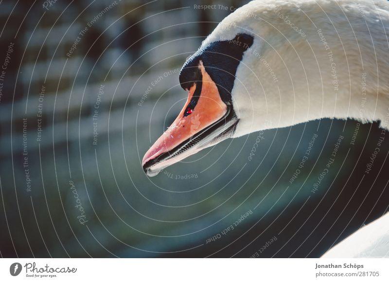 Schwan Tier Wildtier 1 elegant Vogel Schnabel Entenvögel Seite Unschärfe Königlich Stolz orange weiß Reinheit Schwanensee Hyde Park Vollendung schön