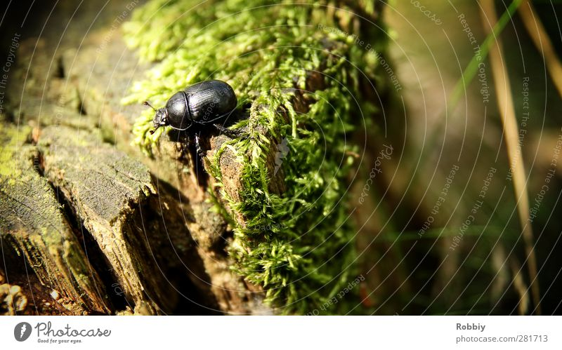 Le petit Géotrupe du fumier grün Baum Tier schwarz klein braun Wildtier laufen Moos Käfer Baumstumpf