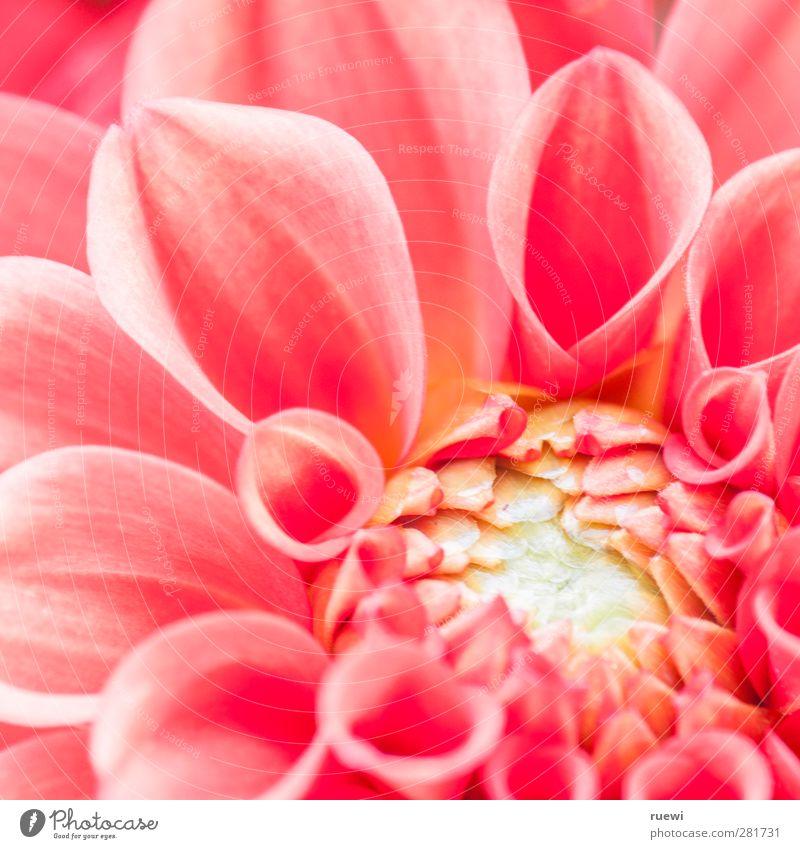 Zum Abschied. schön Sommer Erwachsene 30-45 Jahre Natur Pflanze Blume Blüte Topfpflanze Zeichen Traurigkeit rosa Gefühle Stimmung Mitgefühl Trauer Tod