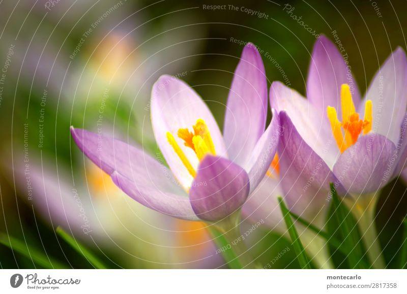 ...und weiter mit Frühling Natur Pflanze grün Blume Blatt Umwelt Blüte natürlich frisch authentisch weich violett trocken dünn Duft