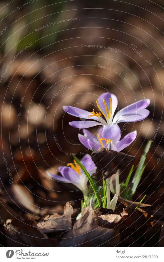 aufgeblühte lila Krokusse als Frühlingsboten vor braunem Hintergrund Umwelt Natur Pflanze Schönes Wetter Blume Blatt Blüte Garten Blühend Wachstum schön