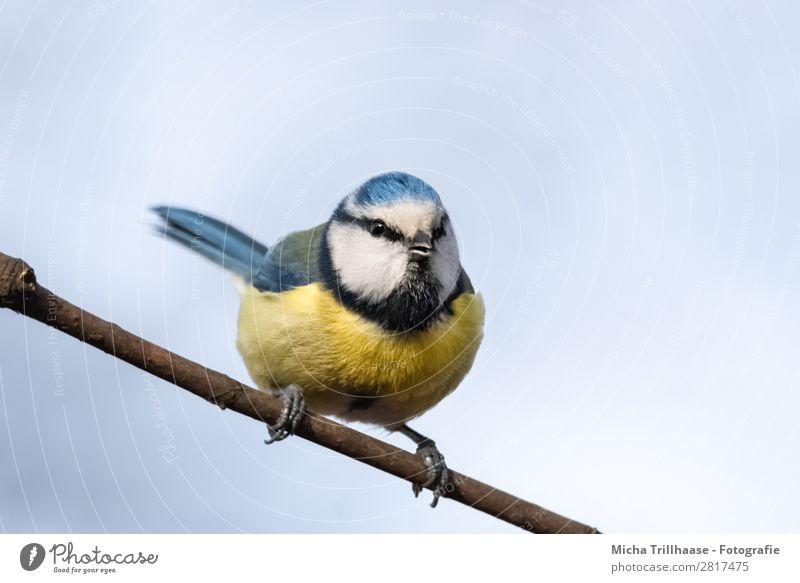Blaumeise auf einem Zweig Himmel Natur blau weiß Tier schwarz gelb Auge natürlich Vogel Wildtier sitzen Feder Schönes Wetter Flügel niedlich