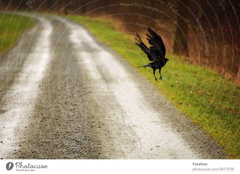 Auf der Flucht Umwelt Natur Landschaft Pflanze Tier Urelemente Erde Sand Gras Park Wiese Wildtier Vogel Flügel 1 nass natürlich braun grau grün schwarz